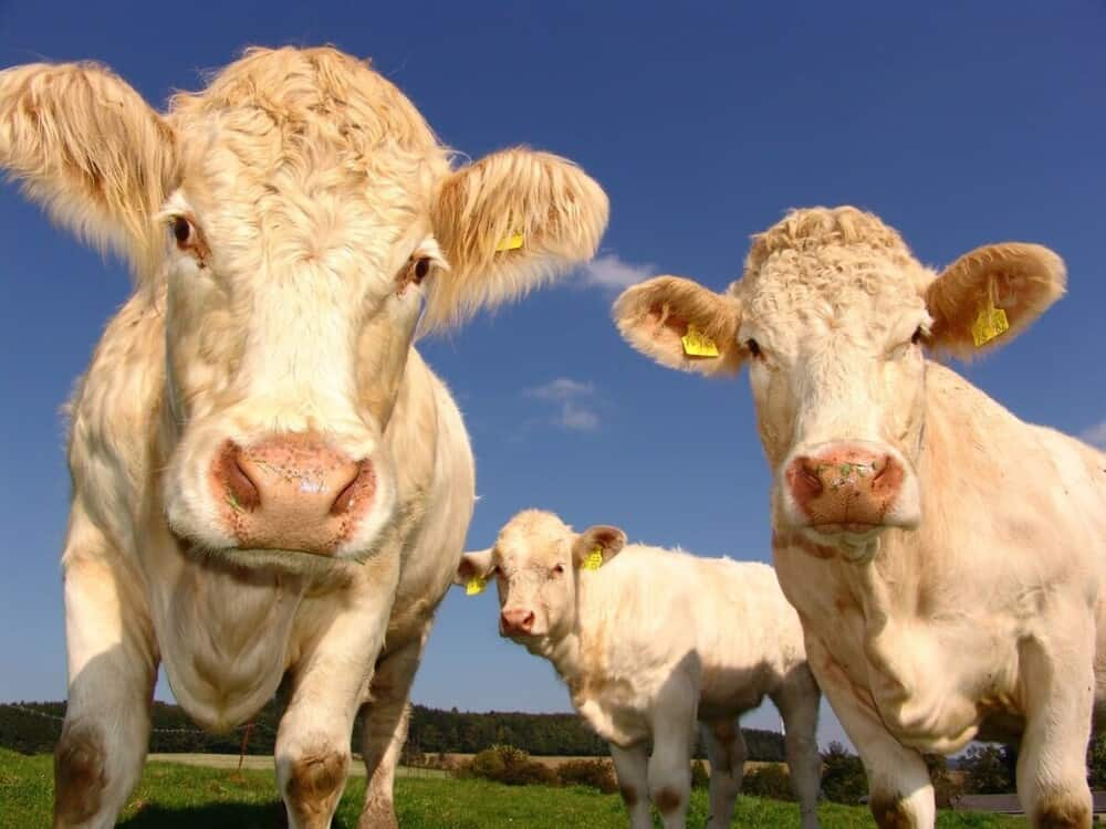 how long do domestic cows life for (1)