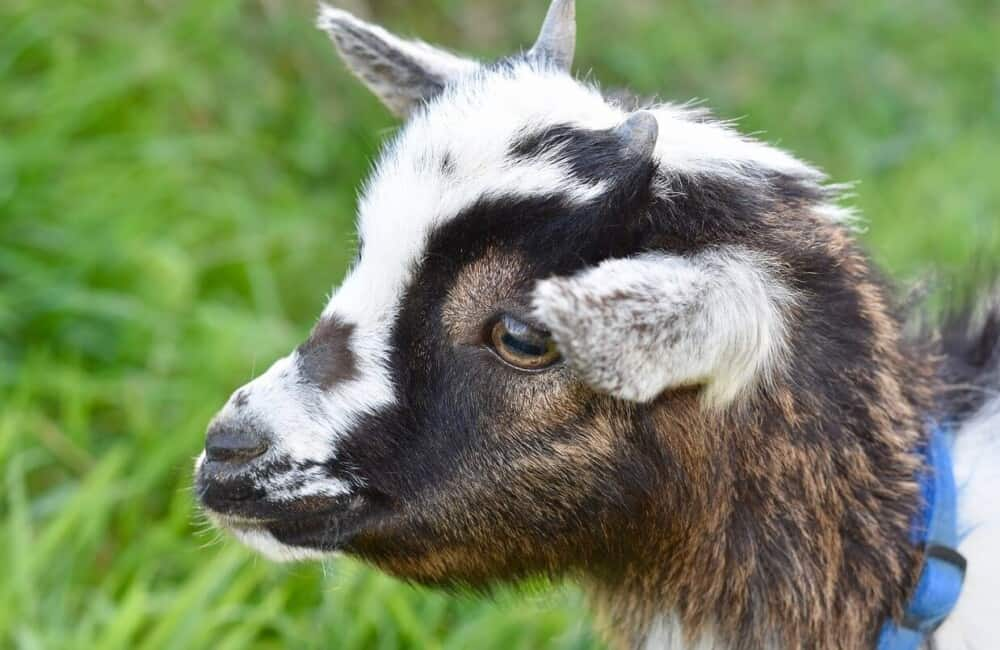 Baby goats need colostrum (1)