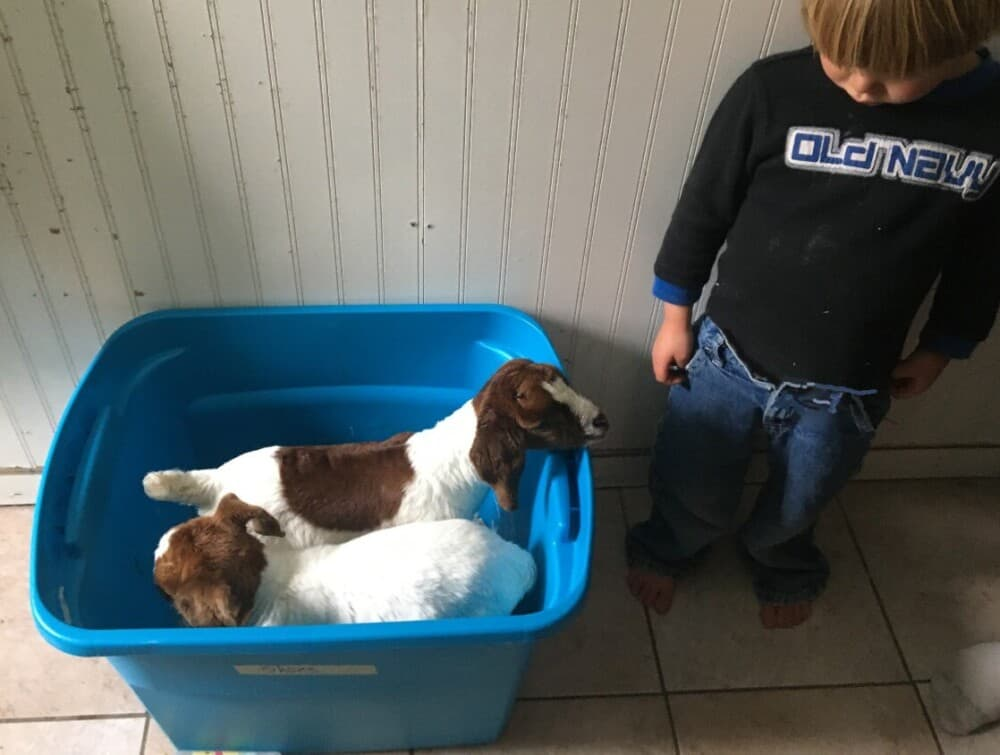 Baby goats need milk for the first month (1)