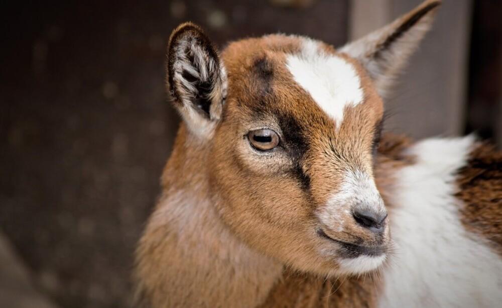 Baby goats will start eating hay around 4 weeks (1)
