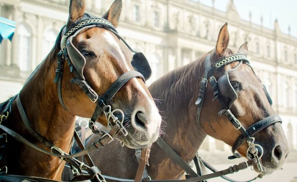 Carriage horses wear eye covers to restrict their peripherial vision (1)