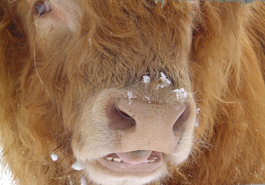 Do cows have top teeth