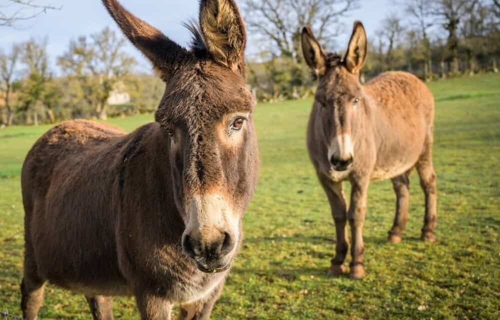 Donkeys are highly intelligent (1)
