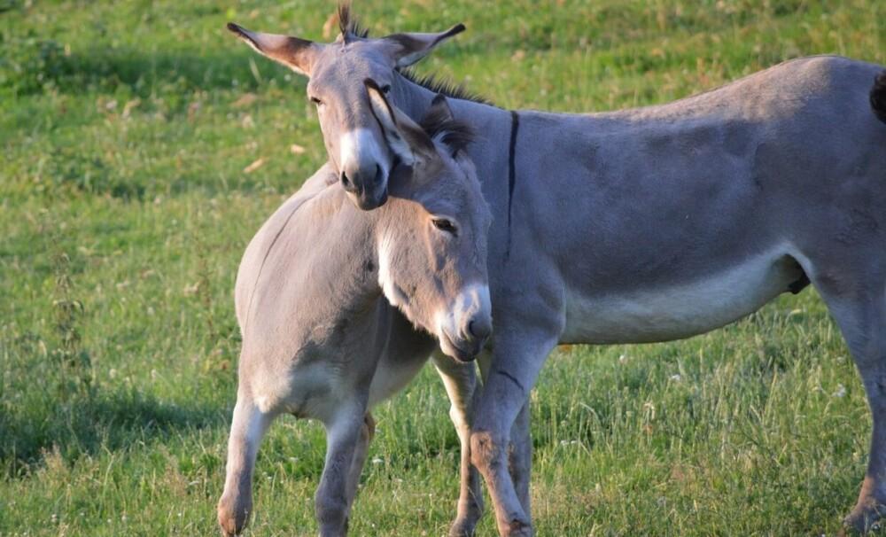 Donkeys need a companion (1) (1)