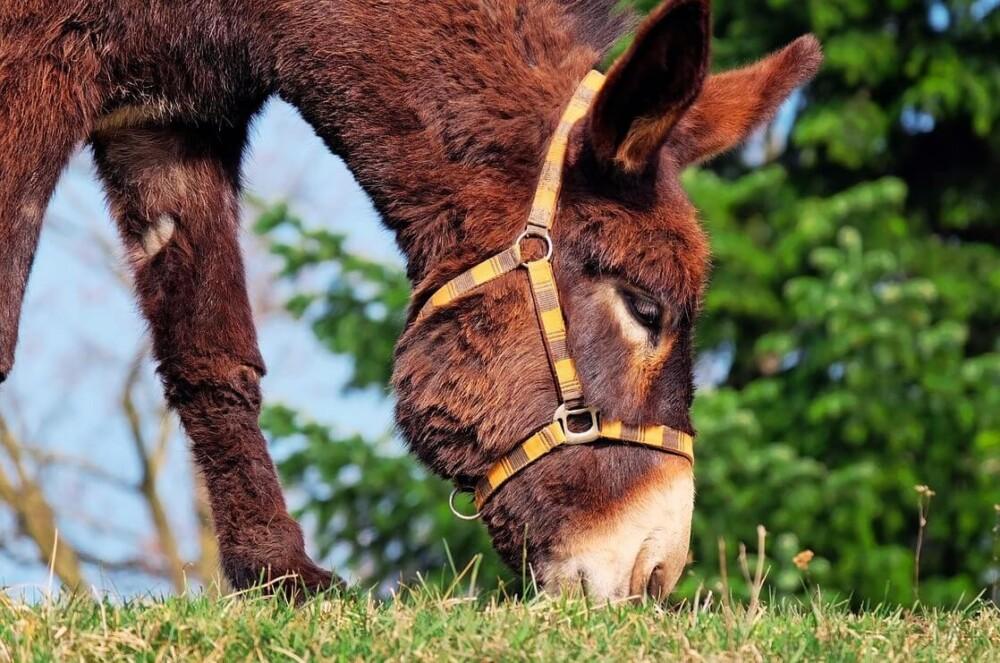 Grazing donkeys need an acre per donkey (1)
