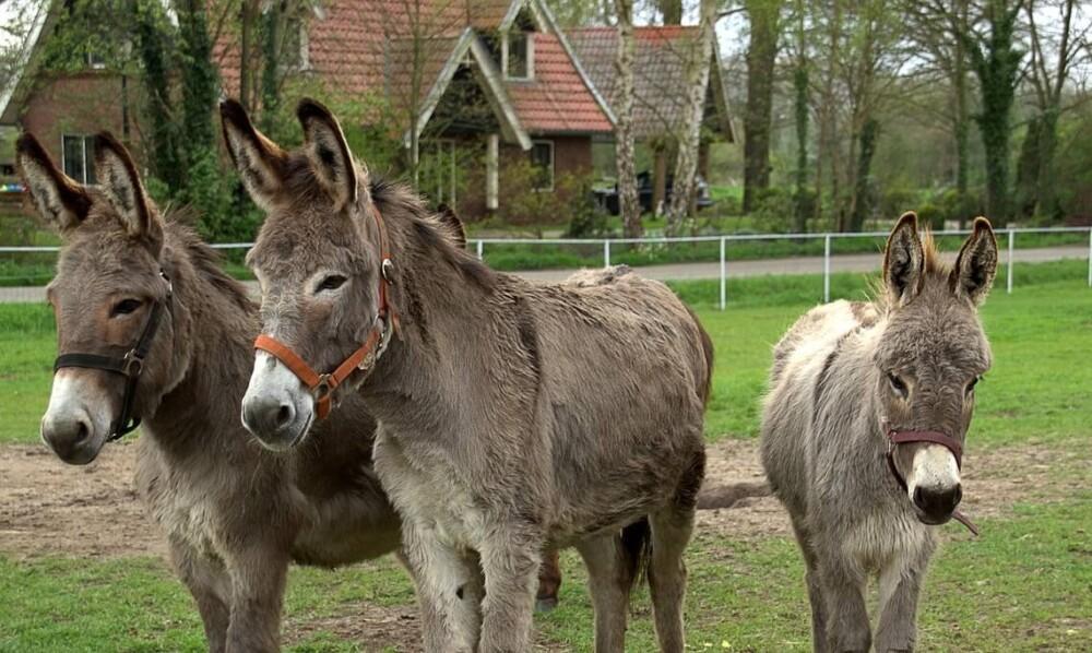 Keeping donkeys in a backyard (1)