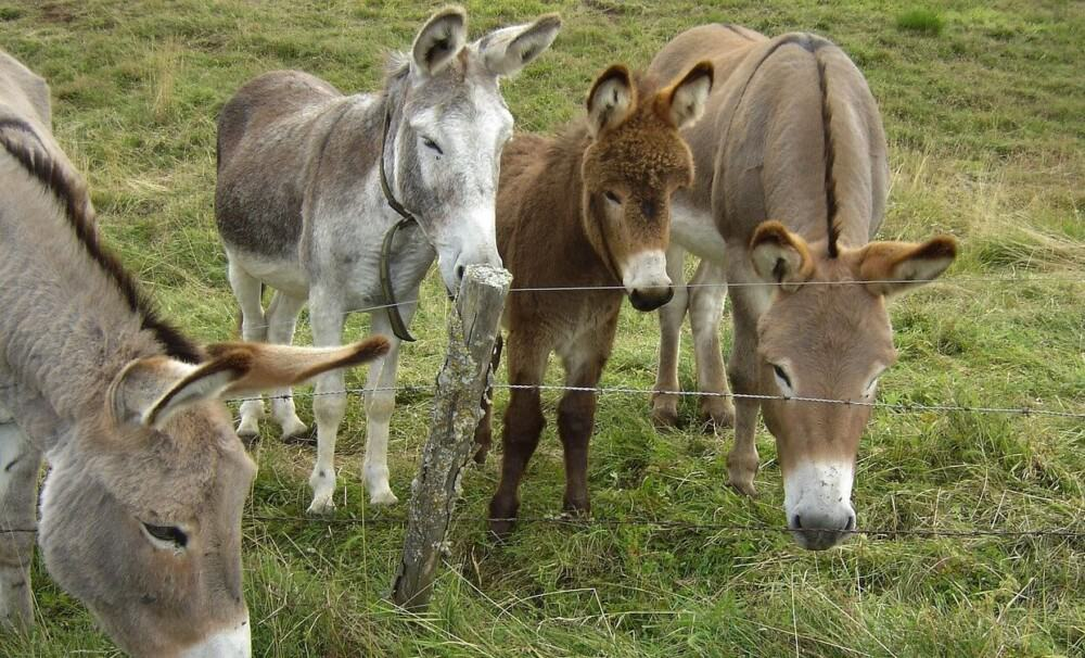 Minature donkeys need a half acre per donkey (1)