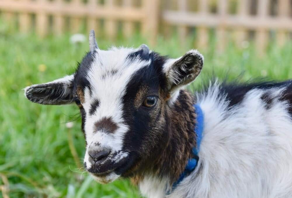 Preventing CL in goats (1)