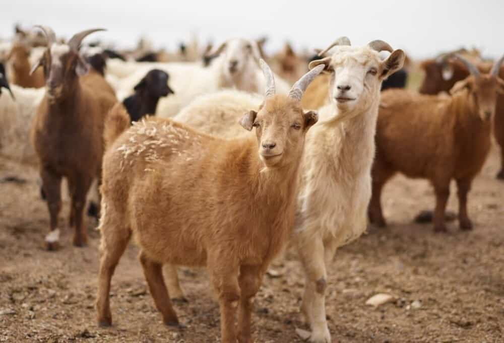 Preventing rabies in goats (1)