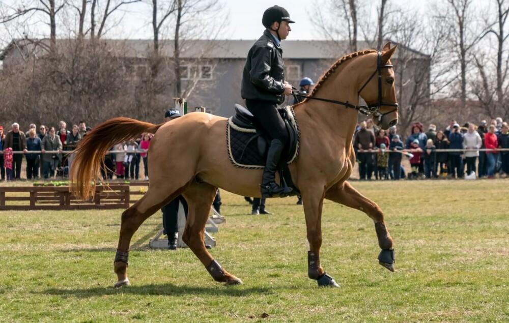 best horse breed for dressage wormblood (1)