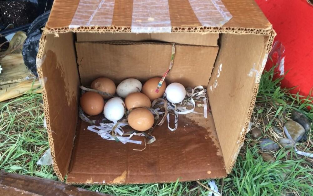 Broody hens will stop laying eggs (1)