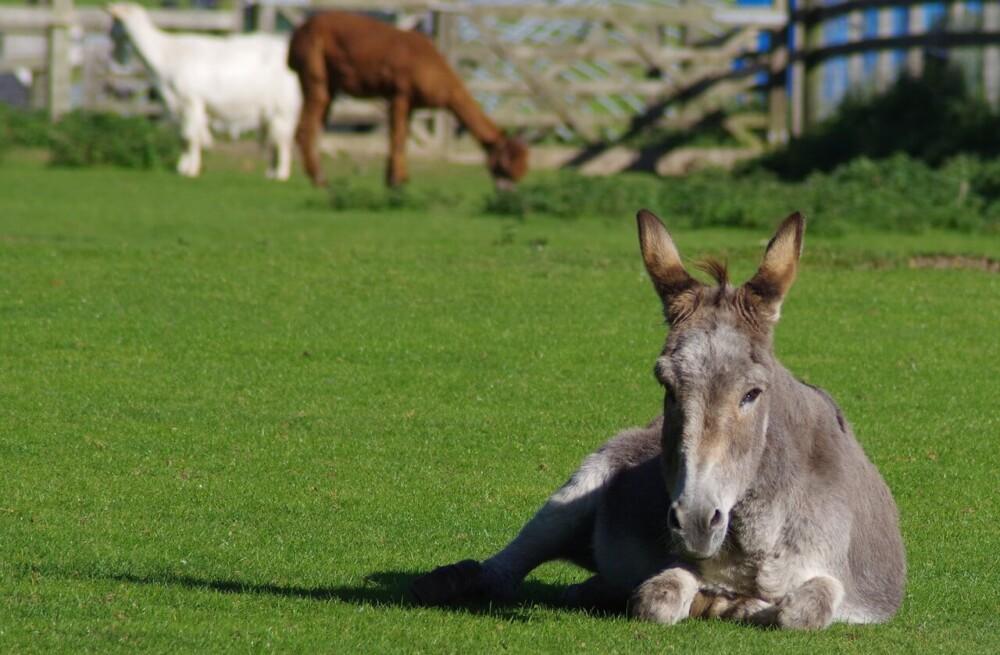 not all donkeys make good guard animals (1) (1)