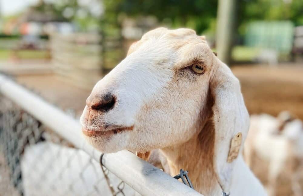 preventing soremouth ORF in goats (1)