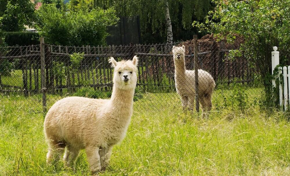 Alpaca treats help to train them (1)