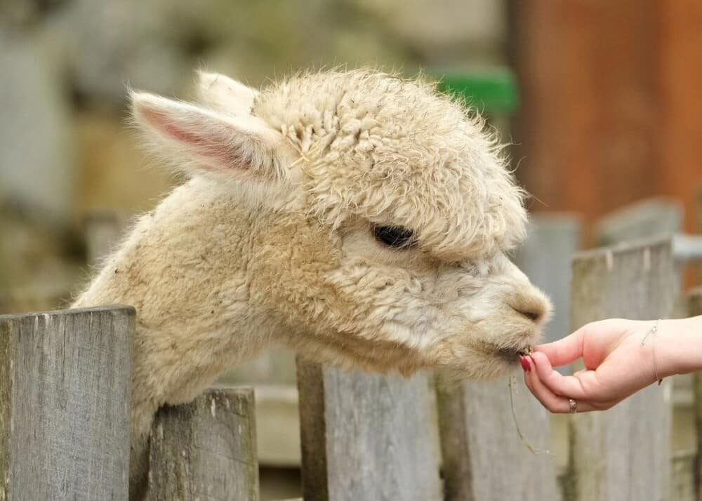 Best alpaca treats named by alpaca owners (1)