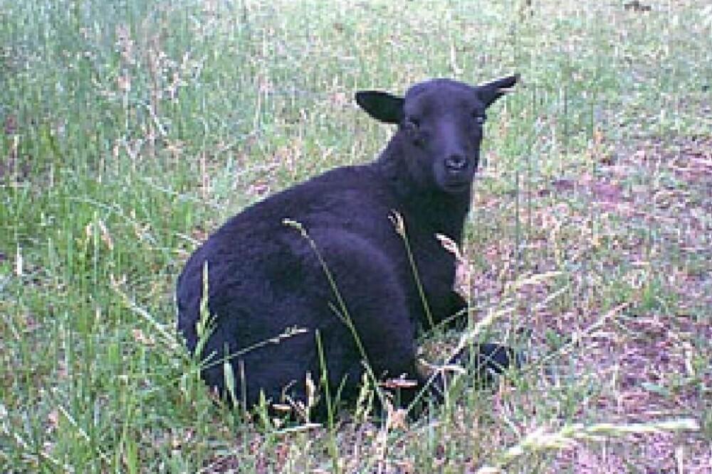 Black Welsh Mountain Sheep (1) (1)