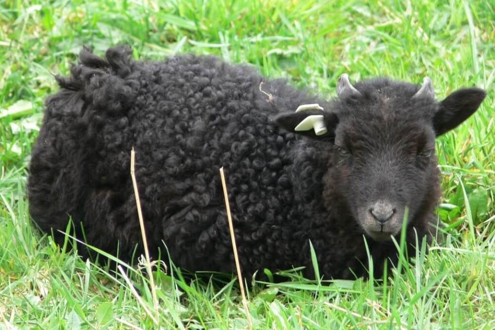 Black sheep breeds (1)