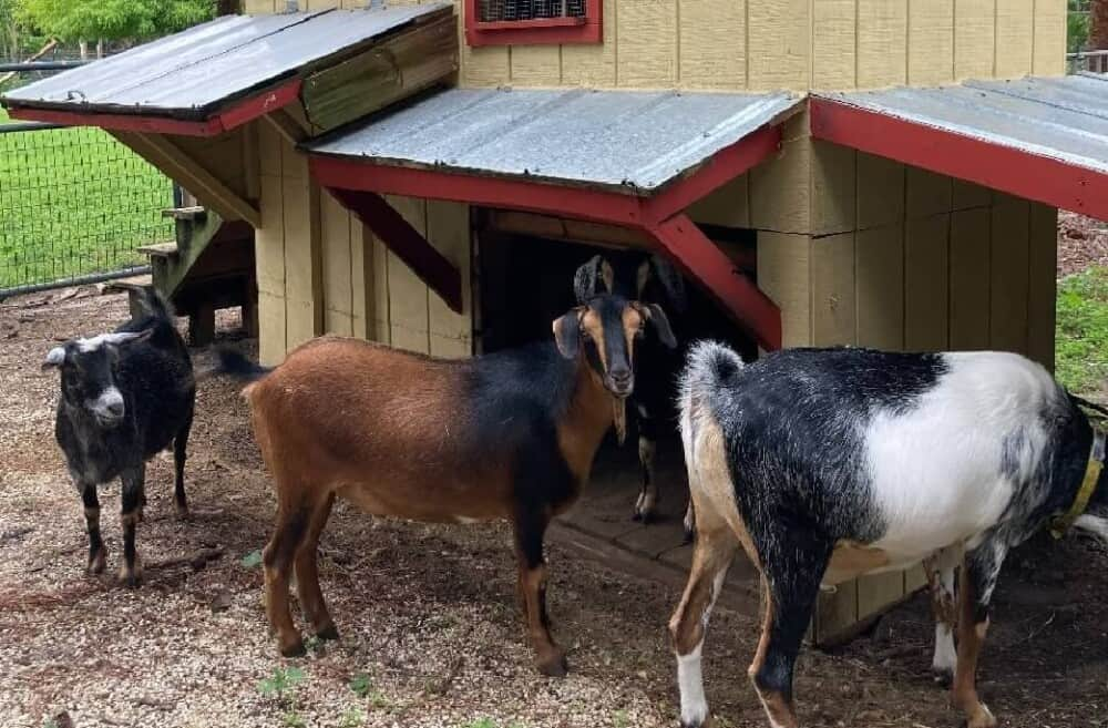 Goats need protection from predators (1)