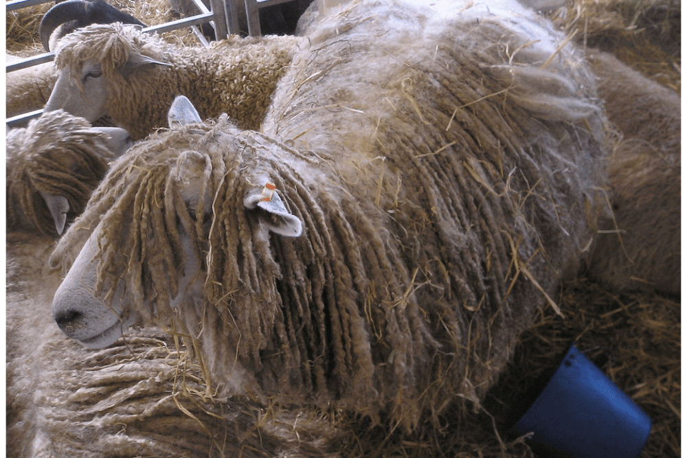 Leicester Longwool are naturally polled sheep (1)