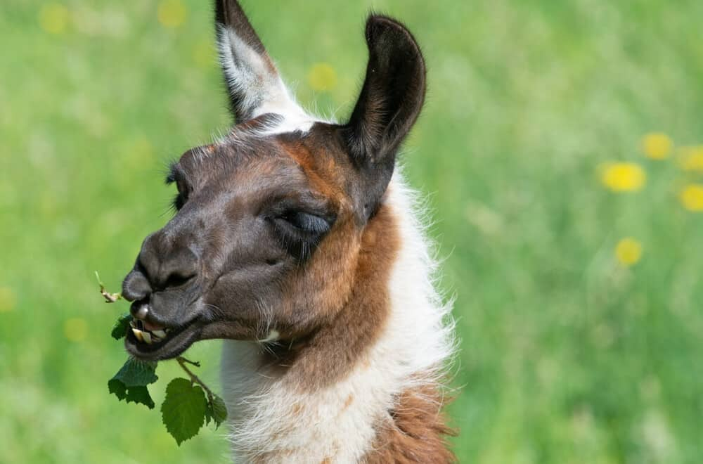 Llamas love leaves and lettuce (1)