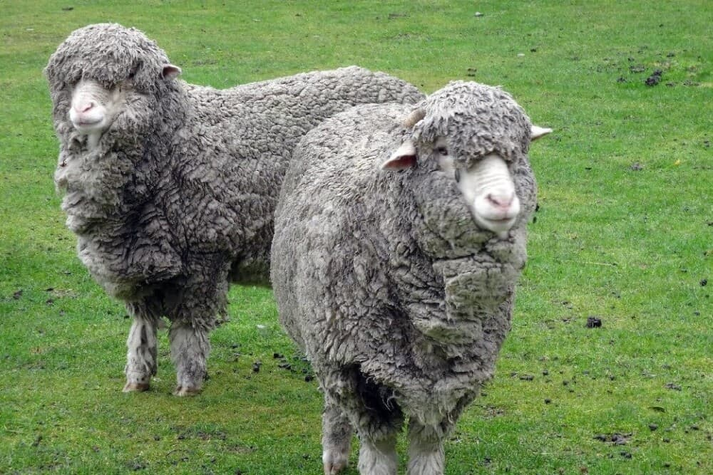 Mereno Wool sheep is highly sought after (1)