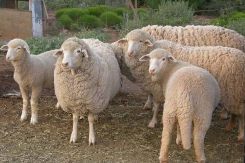 Rambouillet Sheep are long-wool sheep (1)