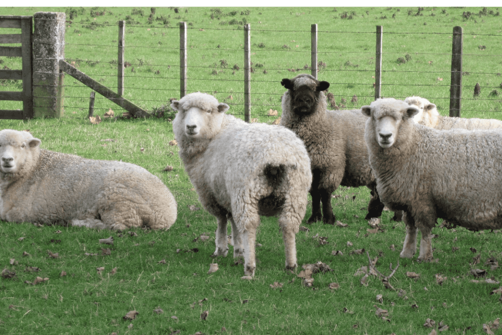 Romney Sheep an all- white breed (1)