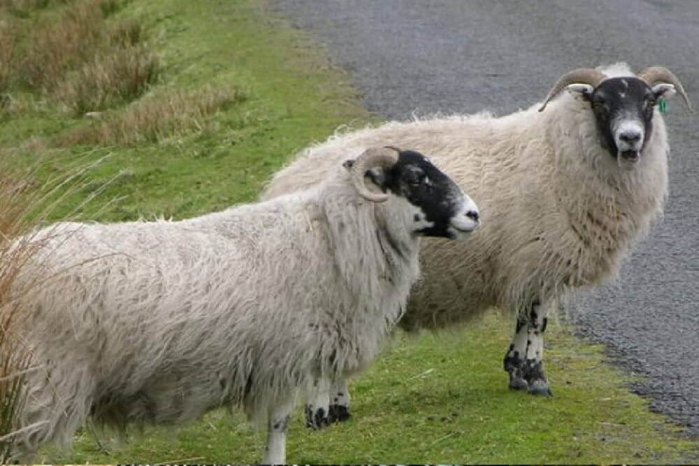 Scottish black faced sheep have a distinct look (1)