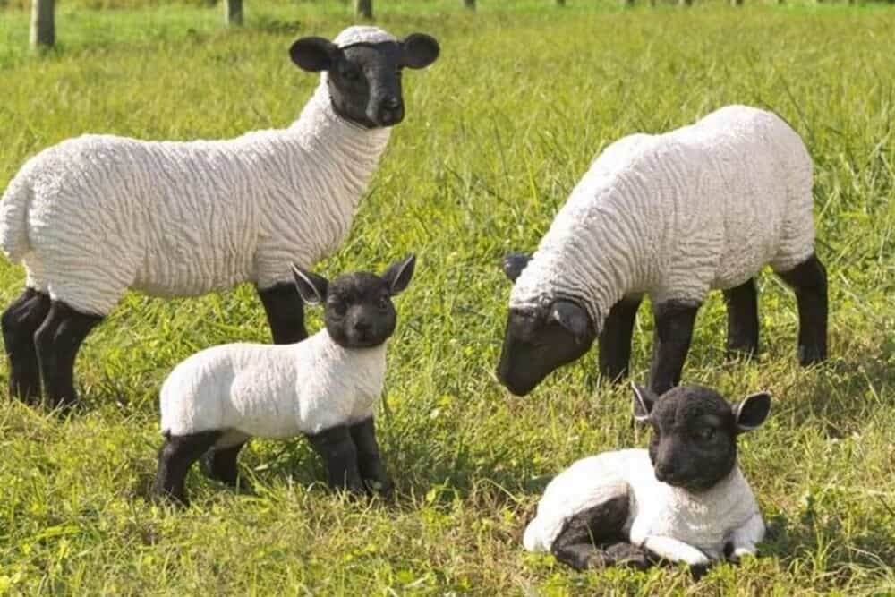 Suffolk Sheep Breed have black faces (1)