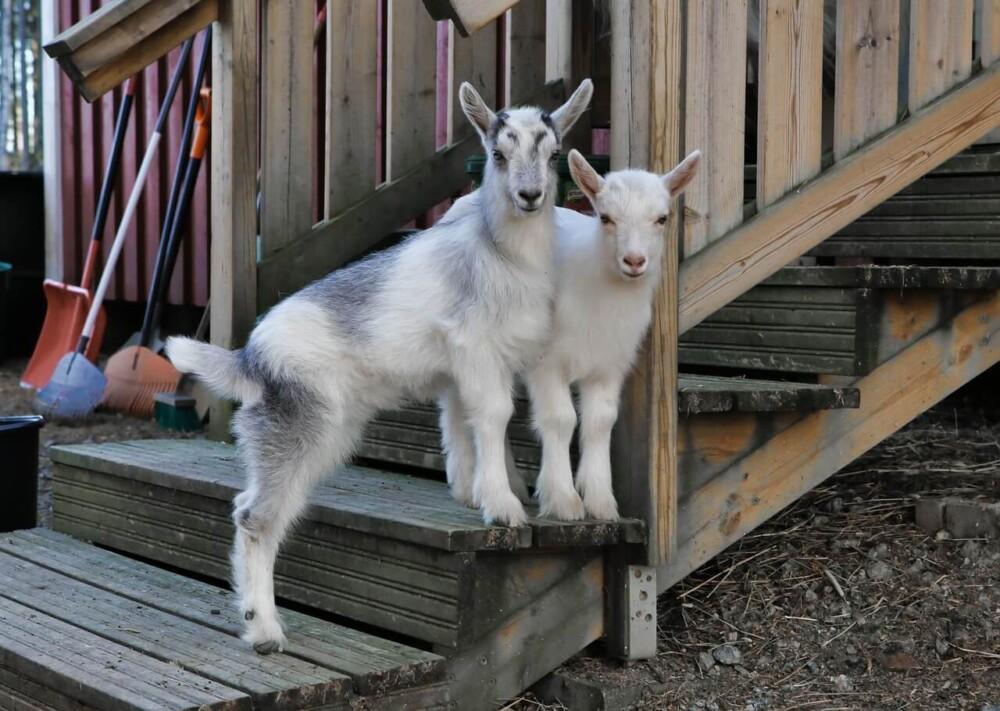 Treat goat bloat immediately (1)