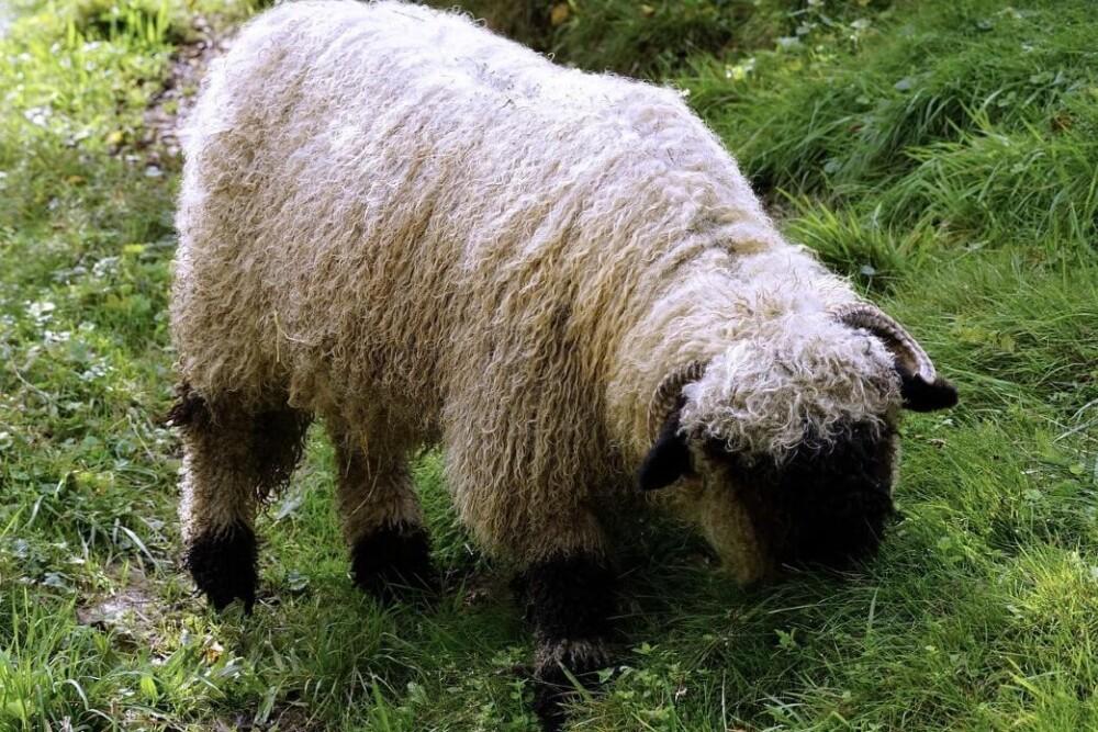 Valais Blacknose Sheep are adorable (1)