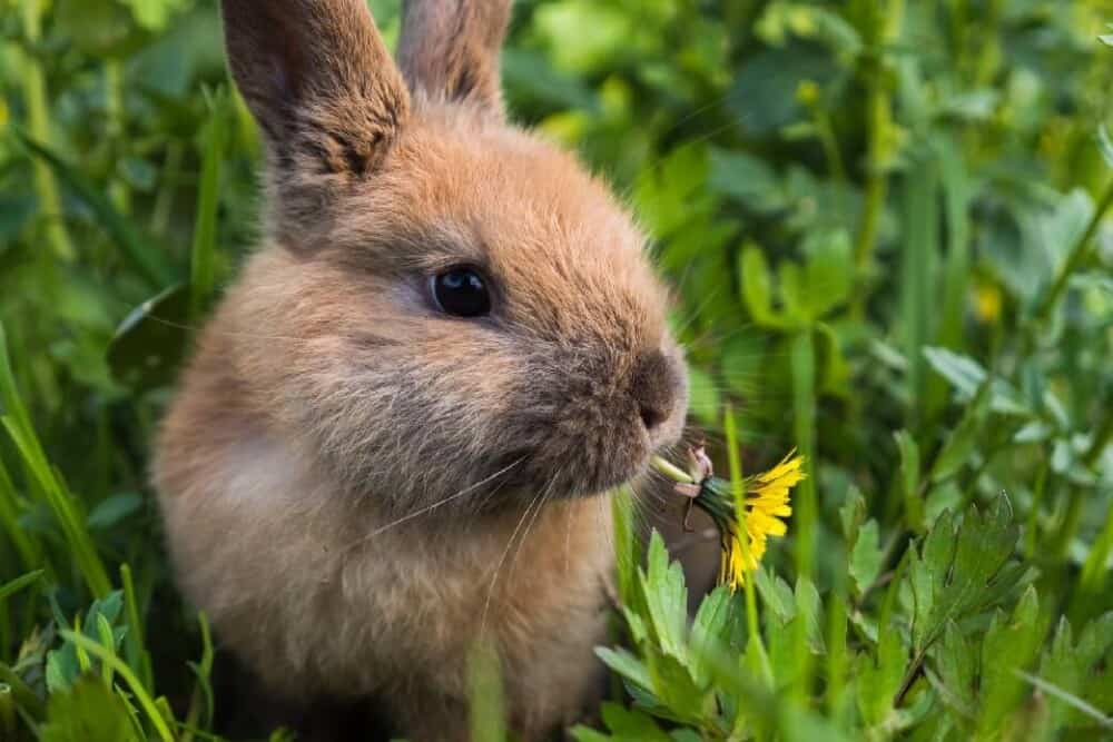 edible weeds for rabbits (1)