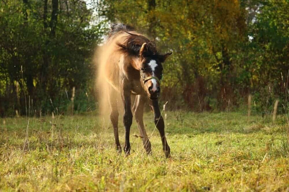 horses usually get up after rolling (1)