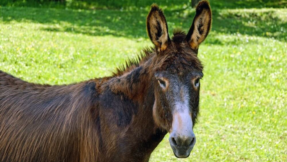 A mule is the offspring of a horse and donkey (1)