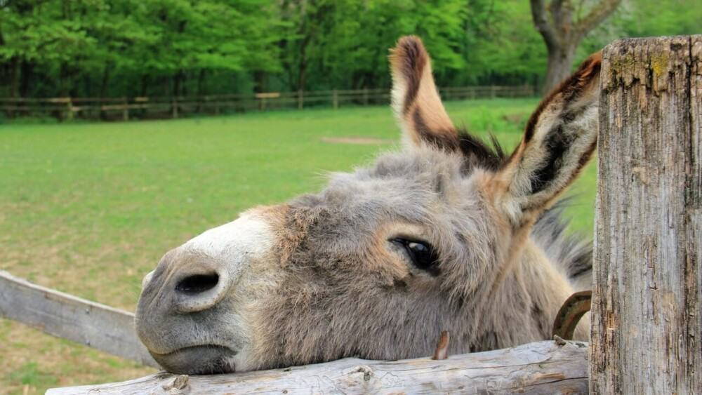 A sad donkey has ears in specific positions (1)