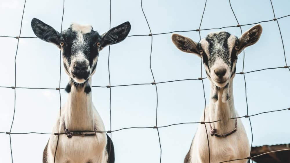 Dairy goats are preferred without horns (1)