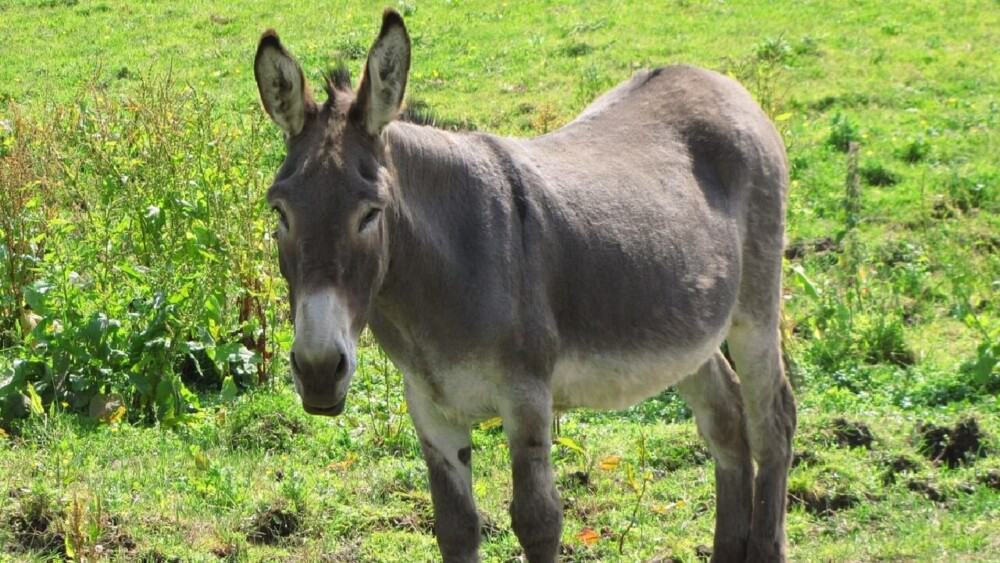 Donkeys can reproduce with horses (1)