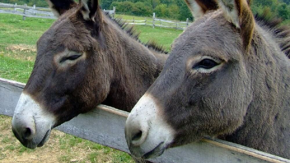 Donkeys have broader faces than horses (1)