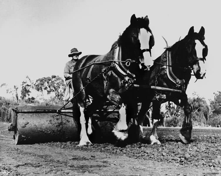Draft horses working in the farm (1)