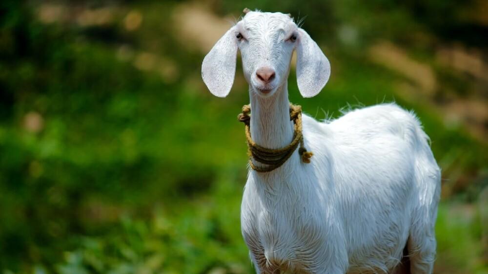 Polled goats don't grow horns (1)