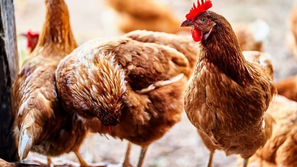 Vaccinations for Chicken flocks (1)