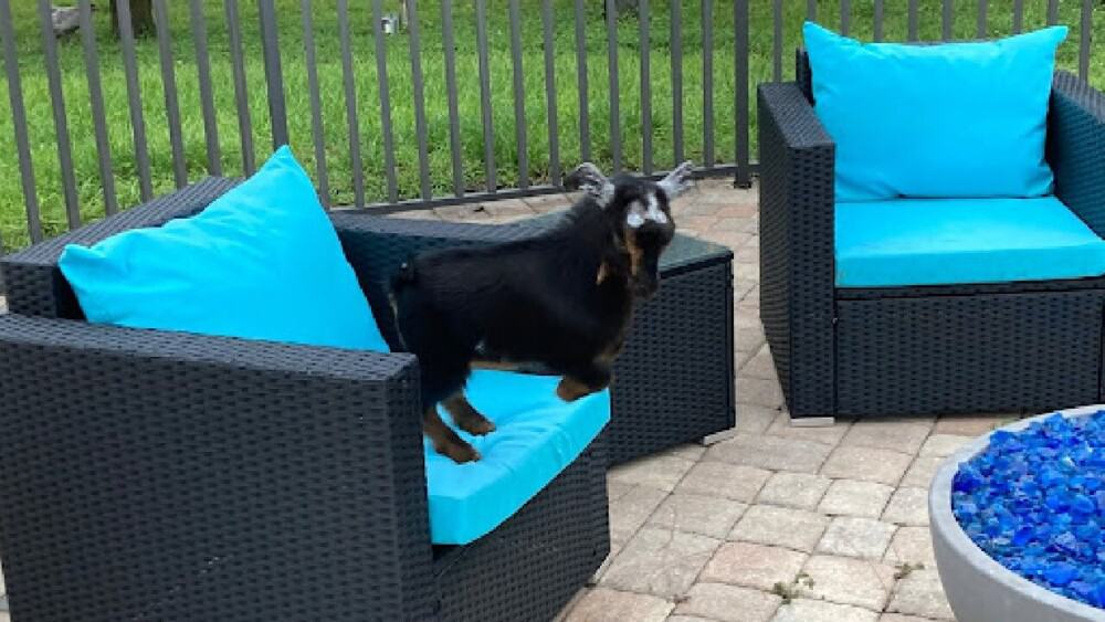 A disbudded goat plays minutes later (1)