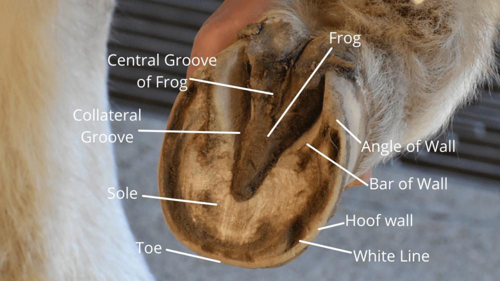 Anatomy of Horse Hoof (1)