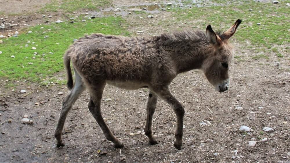 Annual donkey maintenance can approach 1500 dollars a year (1)