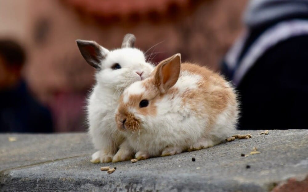 Dehydration is a common cause of rabbit death (1)