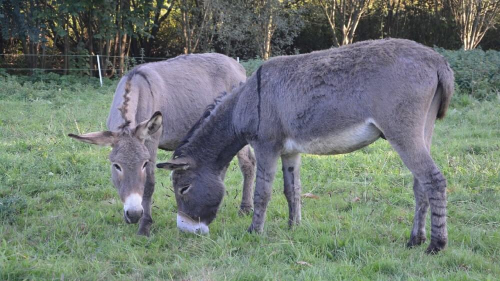 Donkeys are usually sold in pairs, which doubles the cost (1)