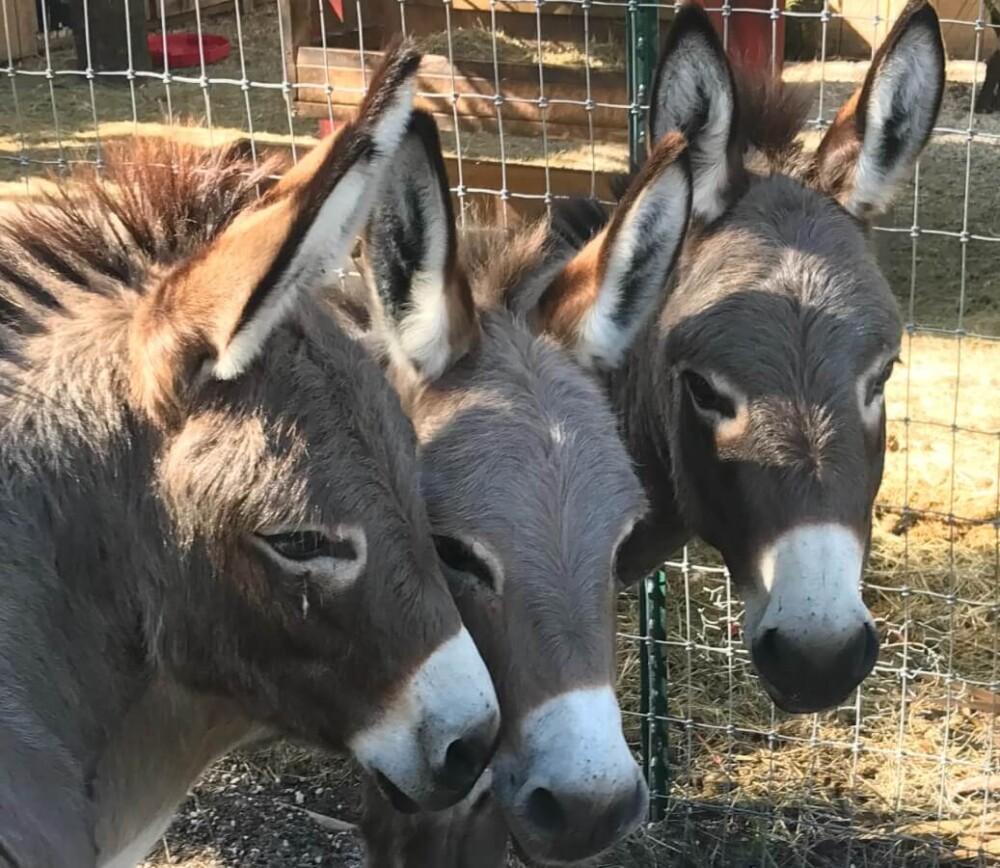 Donkeys need other donkeys for affection