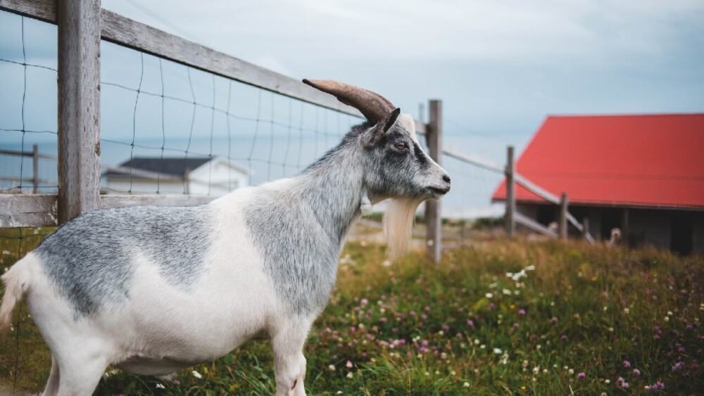 Goat cough is usually serious (1)