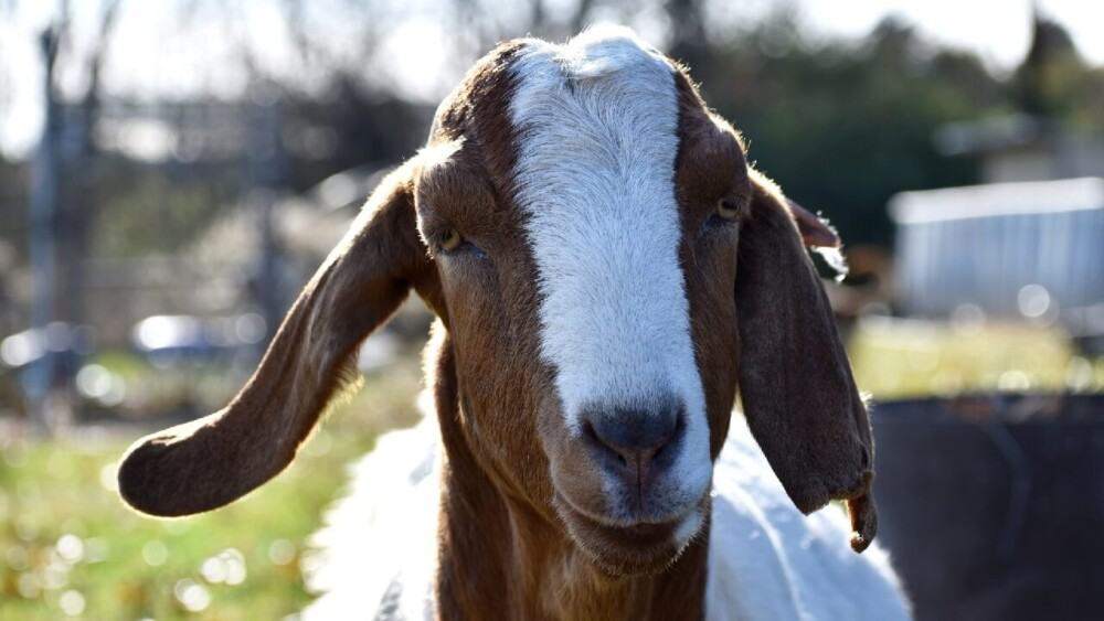 Goat vaccination guide (1)