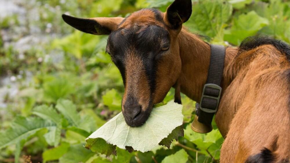 Goats bloat when they eat rich plants that upset their rumen (1)